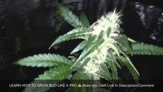 How To Grow CBD | Indoor Grow Tent | Week 4 Flowering Stage
