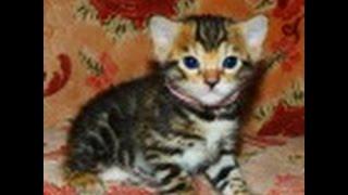 Бенгальские элитные котята из питомника