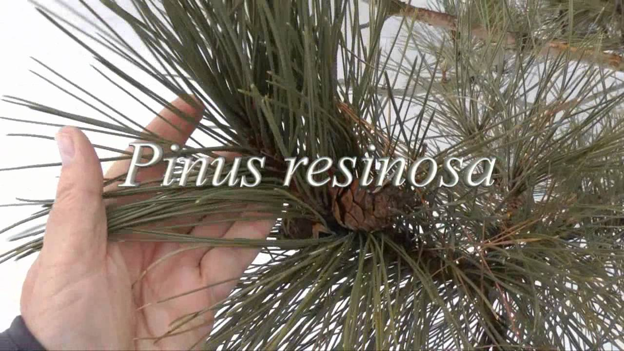 Pruning a mature jack pine tree