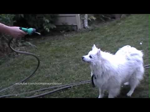Hilarious American Eskimo Dog with Water Hose - Funny