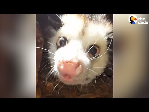 Blind Baby Opossum Rescued From The Side Of The Road