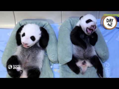 First 100 Days Of Toronto Zoo's Giant Panda Cubs