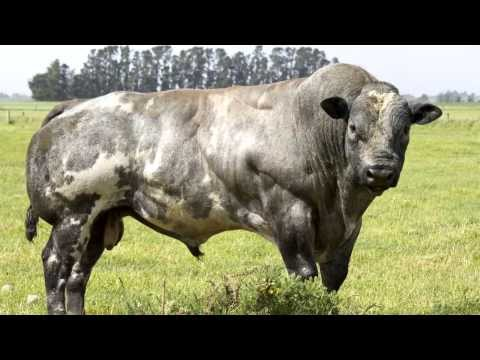 Belgian Blue Cows -- Evidence Of 'de-volution'