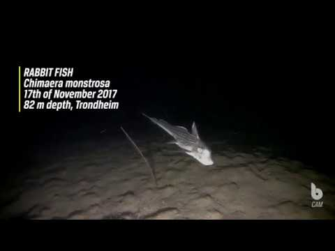 Rabbitfish / Ghost Shark / Chimaera Monstrosa At 82 M Dept | Blueye Pioneer Underwater Drone