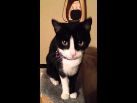 Cat tricks- starring crystal the cat
