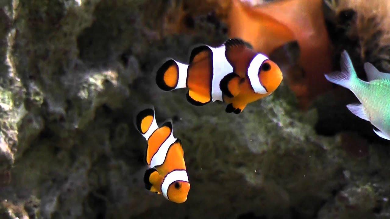 vad äter clownfiskar