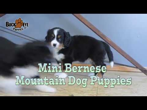 Mini Bernese Mountain Dog Puppies