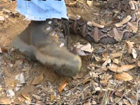 Gaboon viper strikes and bites. South Africa - YouTube