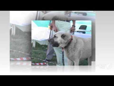 Bakharwal Dog Dog breed