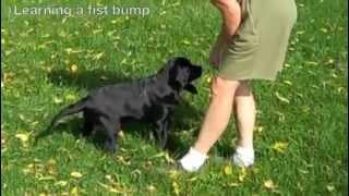Tonto - Black Lab Puppy 15 Weeks Old Training