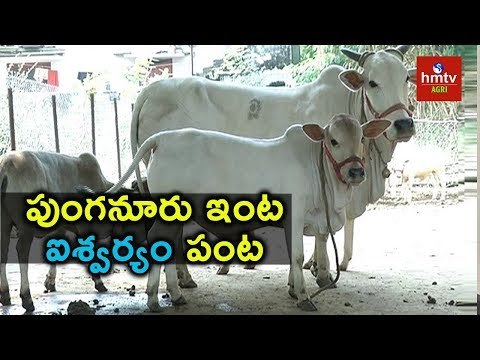 Punganur Cows : Rare Breeds of Cows |  hmtv Agri