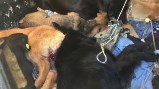 Как в Севастополе кастрируют собак(Как в Севастополе проводят кастрацию собак. Эпопея по улучшению эпизоотологической обстановки в Севастопо..., 2015-12-18T15:08:12.000Z)