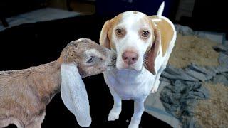 Maymo Dog and Goats Kiss, Play, and Jump Around