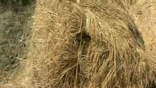 Comparison of traditional paddy cultivation and SRI Mundari PRADAN Jharkhand
