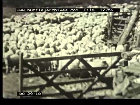 Sheep Drive In Welsh Mountains, 1930's - Film 17756