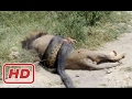 Giant Anaconda vs Lion - Anaconda Kills Lion - Fight Till Death #35 (Only The Strongest Survive)