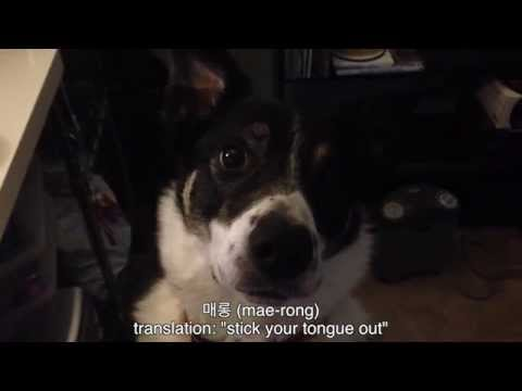 Saber the Border Collie | Cool Dog Tricks