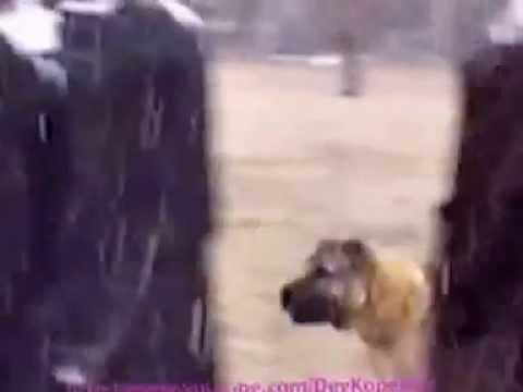 Dev Köpek Dünyayı Sallıyor