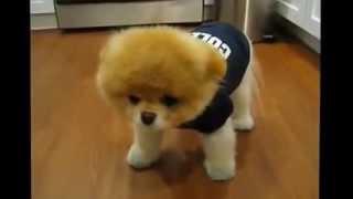 самая обаятельная собака в мире. funny puppy