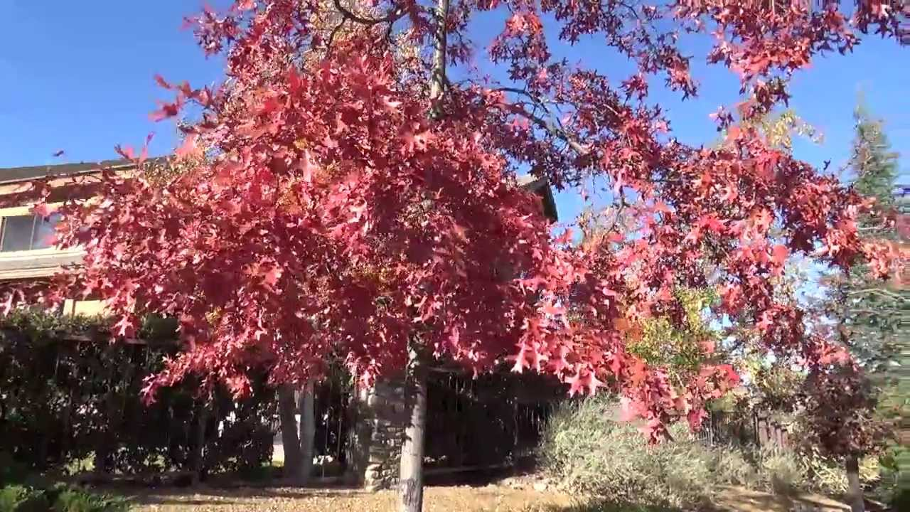 Northern Red Oak in Fall Color - YouTube