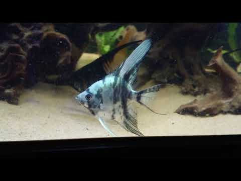 Marble Blue Ghost Angelfish (eBay Listing - NOW SOLD)