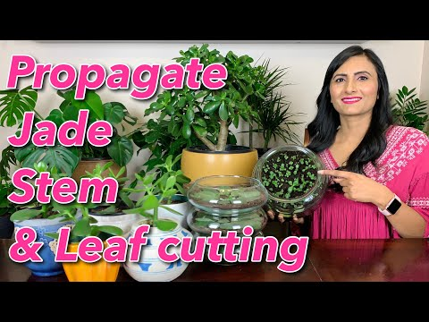 How To Grow Jade Plant From Stem & Leaf Cutting | Propagate | Water | Sunlight | Transplant & Care