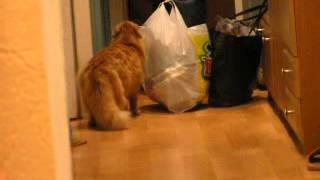 Рыжий кот Фред встречает хозяев