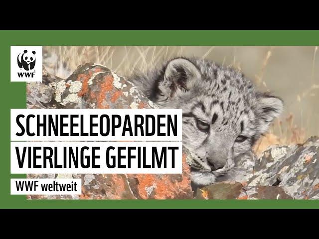 Süße Sensation: Schneeleoparden Vierlinge gefilmt