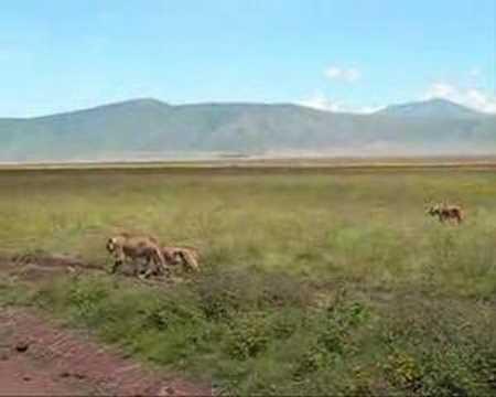 Lion @ Ngorongoro Conservation Area