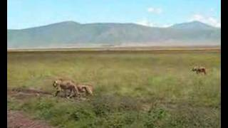 Lion @ Ngorongoro Conservation Area
