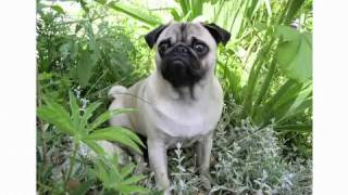 Pros & Cons Of A Pug | Dog Breeds