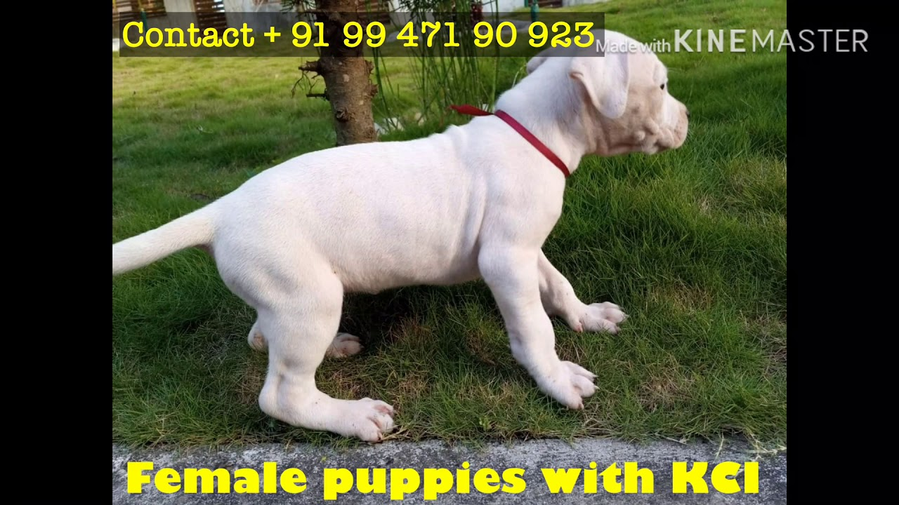 Dogo Argentino Puppies Available In Kerala 919947190923 Youtube