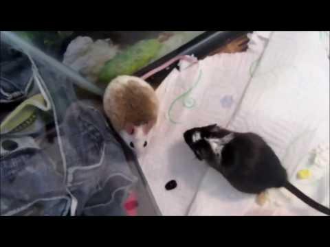 ASF Rat Meets A Gerbil