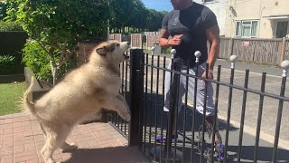 Giant Angry Alaskan Malamute Guard Dog (The Savage Side Of Phil!)