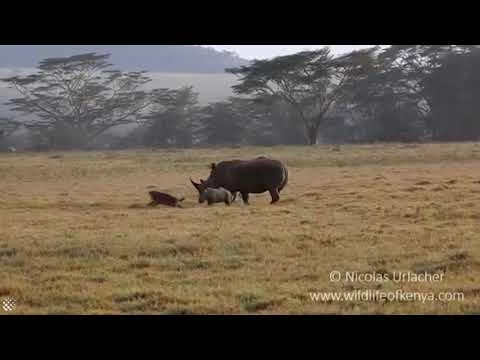 Mother rhino protects calf from hungry hyenas. | Nakuru National Park