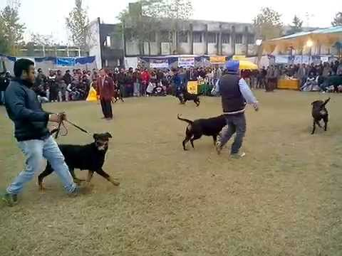 Rottweiler Best of Breed - Amritsar dog show India