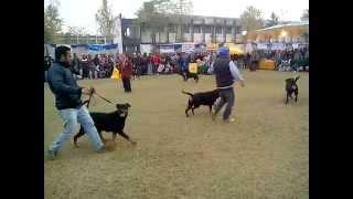Rottweiler Best Of Breed - Amritsar Dog Show India