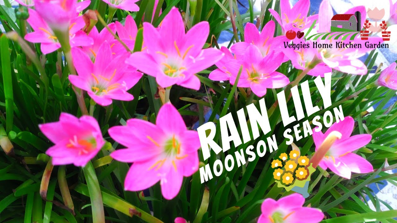 Rain Lily Flowering Bulbs In Home Containers Youtube