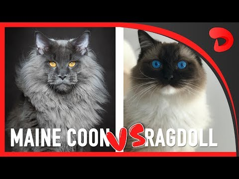 MAINE COON vs RAGDOLL - What Are the Differences? |Comparison of both cats explained