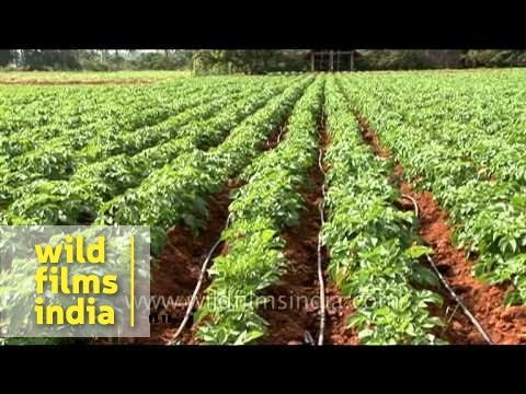 Potato agricultural farm in Karnataka