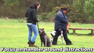 Beau - Sharpei - Aggressive Dog Residential Dog Training