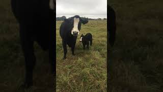 Cow brings baby over to show it off to owner.