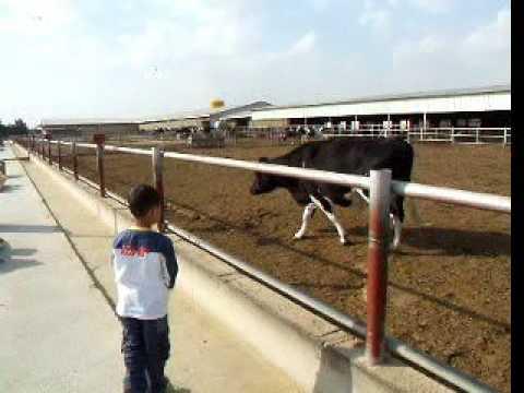 مزرعة السيد حسين المبارك بمنطقة الصليبية الكويت kuwait cows