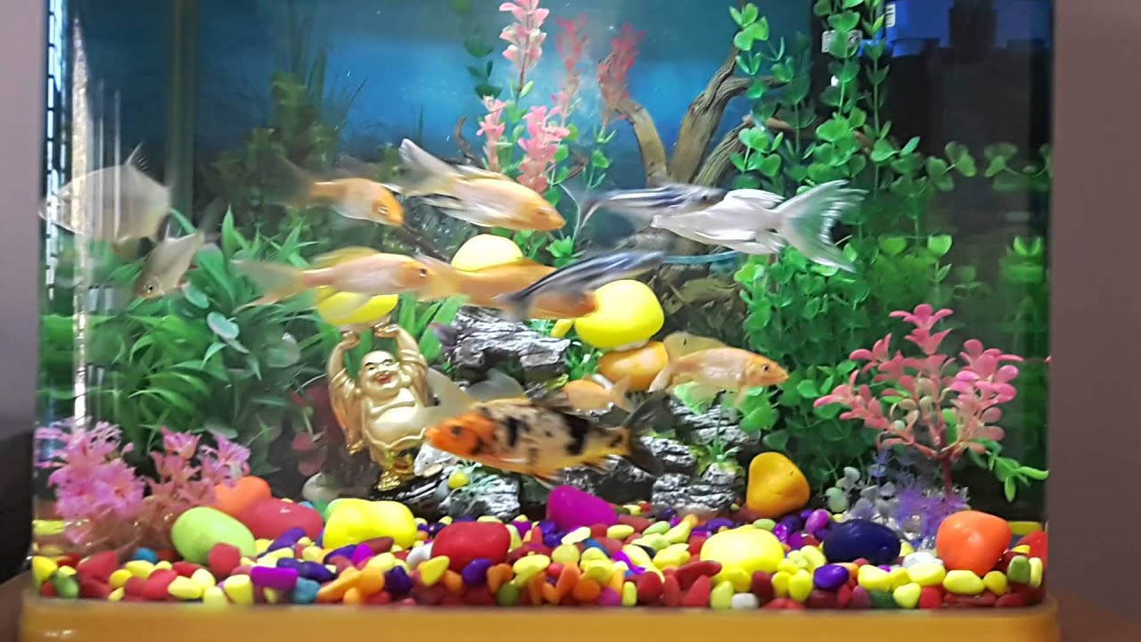 Gold carp fish aquarium youtube for Carp in a fish tank