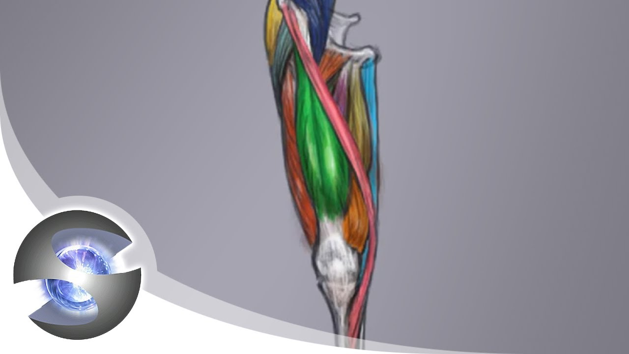 Anatomy of the Upper Leg ( Front View ) - YouTube