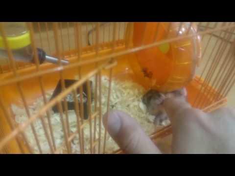 Как пищит хомяк