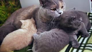 Британские котята в возрасте 1 месяц (Litter-I2)