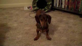 Sock Hound Weenie Dog