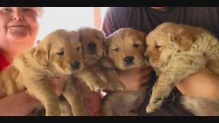 Golden Retriever Puppies For Sale 5 Weeks Old