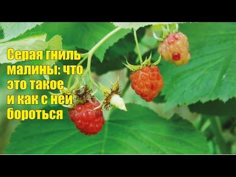 Летняя болезнь малины серая гниль. Как бороться?
